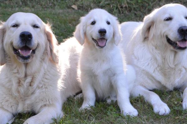 Trwają konsultacje ws. wolontariatu w szkole psów przewodników